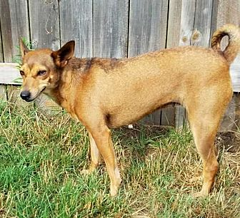 Jack Russell Terrier Mix Dog for adoption in South Bend, Indiana - Lucee