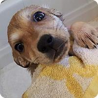 Adopt A Pet :: Tika - Bowie, MD