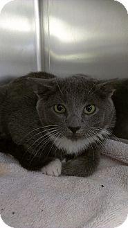 Domestic Shorthair Kitten for adoption in Richboro, Pennsylvania - Josh Hutcherson