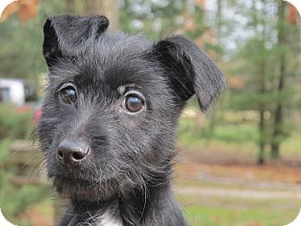 Scottie, Scottish Terrier/Terrier (Unknown Type, Small) Mix Puppy for adoption in Plainfield, Connecticut - Buttons