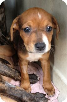 Pit Bull Terrier Mix Puppy for adoption in Gainesville, Florida - Pebbles