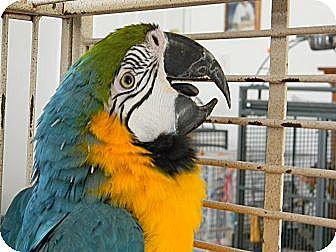 Macaw for adoption in Punta Gorda, Florida - Sherlock