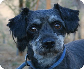 Schnauzer (Miniature) Mix Dog for adoption in Canoga Park, California - Chips