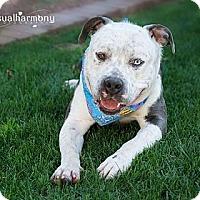 Adopt A Pet :: BUBBA GUMP - Phoenix, AZ