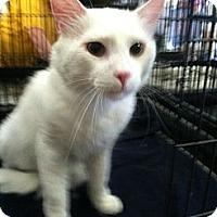 Adopt A Pet :: Snowball - Harriman, NY