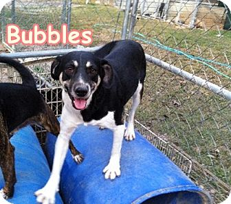 Fox Terrier (Smooth)/Foxhound Mix Dog for adoption in Boaz, Alabama - Bubbles