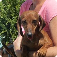 Adopt A Pet :: Ursula - Salem, NH