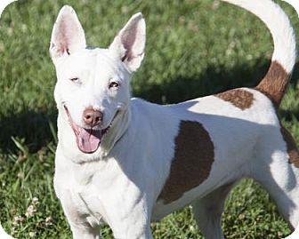 Australian Cattle Dog/Terrier (Unknown Type, Medium) Mix Dog for adoption in Bedford, Indiana - Iris