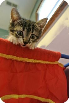 Domestic Shorthair Kitten for adoption in Des Moines, Iowa - Mallory
