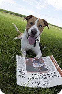 Labrador Retriever/Pit Bull Terrier Mix Dog for adoption in Fremont, Nebraska - Jackson