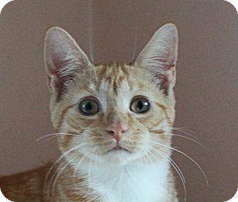 Domestic Shorthair Kitten for adoption in Morganton, North Carolina - Perry