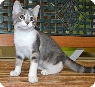 Domestic Shorthair Cat for adoption in Michigan City, Indiana - Mouth
