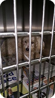 Poodle (Miniature) Mix Dog for adoption in Brownsville, Texas - Sephora
