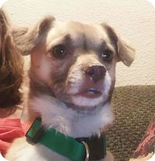 Pug/Chihuahua Mix Dog for adoption in Strasburg, Colorado - Goober