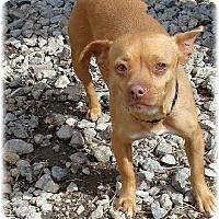 Adopt A Pet :: Caro - Las Vegas, NV