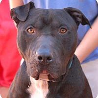 Adopt A Pet :: Rocco - Las Vegas, NV
