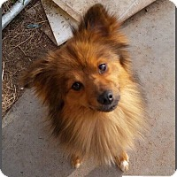Pomeranian Mix Dog for adoption in DeForest, Wisconsin - Charlie
