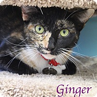 Adopt A Pet :: Ginger - Bradenton, FL