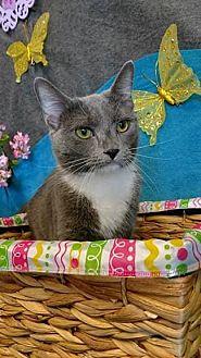Domestic Shorthair Cat for adoption in Waldorf, Maryland - Sasha