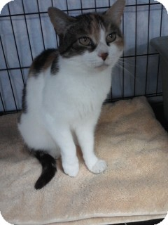 Calico Cat for adoption in Jenkintown, Pennsylvania - Maysie
