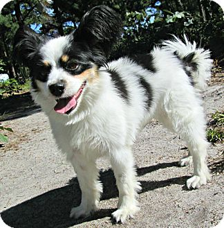 Papillon/King Charles Spaniel Mix Dog for adoption in Forked River, New Jersey - Violet