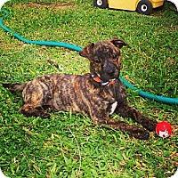 Adopt A Pet :: Koa - Honolulu, HI