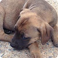 Adopt A Pet :: Stella - Somers, CT