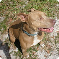 Pit Bull Terrier/Pit Bull Terrier Mix Dog for adoption in Jacksonville, Florida - Sadie 0508