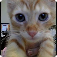 Adopt A Pet :: Cesaro - Trevose, PA