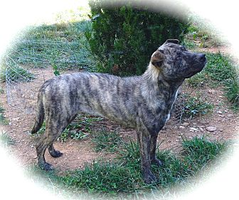 Shar Pei/Mountain Cur Mix Dog for adoption in Ijamsville, Maryland - Cassie