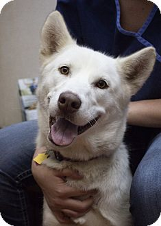 Husky Dog for adoption in Sterling, Kansas - Jewel