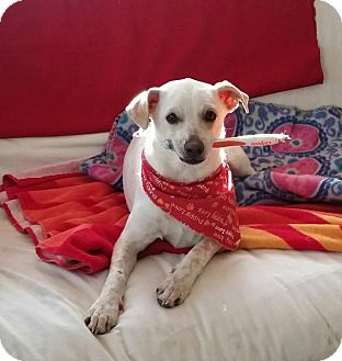 Chihuahua/Terrier (Unknown Type, Small) Mix Dog for adoption in Aurora, Colorado - Cherry