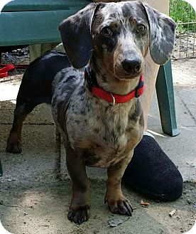 Dachshund Puppy for adoption in Lubbock, Texas - POE