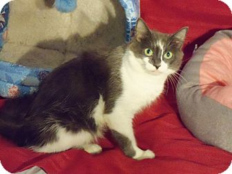 Domestic Mediumhair Cat for adoption in Randallstown, Maryland - Sweetie