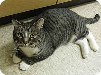 Domestic Shorthair Cat for adoption in West Dundee, Illinois - Ninja