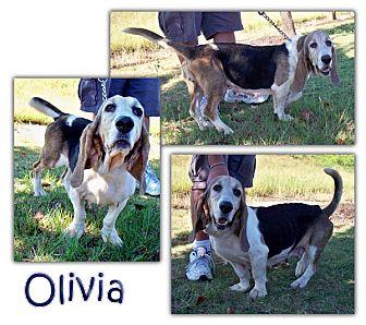 Basset Hound Dog for adoption in Marietta, Georgia - Olivia
