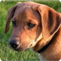 Adopt A Pet :: MacGyver - Rigaud, QC