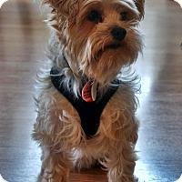 Adopt A Pet :: Bentley - Toronto, ON