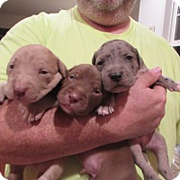 Adopt A Pet :: Ingrids puppies - Bardonia, NY