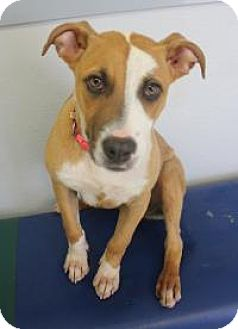 Boxer Mix Dog for adoption in Yukon, Oklahoma - Izzie