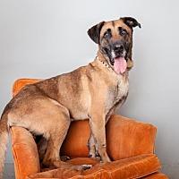 Anatolian Shepherd/German Shepherd Dog Mix Dog for adoption in Mission Hills, California - Roscoe