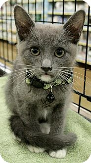 Domestic Shorthair Kitten for adoption in Sacramento, California - Shadow