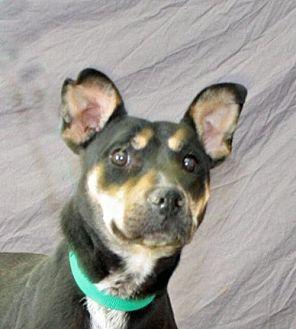 Australian Kelpie Mix Dog for adoption in Modesto, California - Penny