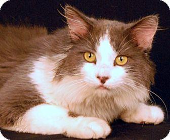 Domestic Mediumhair Cat for adoption in Newland, North Carolina - Adidas
