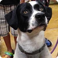 Pointer/Labrador Retriever Mix Dog for adoption in Manchester, New Hampshire - Dweezil - pending