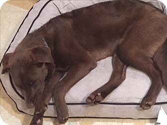 Chesapeake Bay Retriever/Retriever (Unknown Type) Mix Dog for adoption in Bedford Hills, New York - Addy