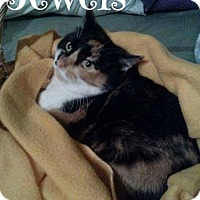 Adopt A Pet :: Jewels - Springfield, VA