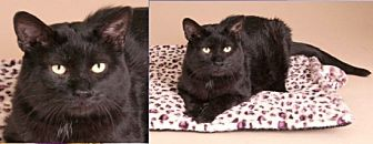 Domestic Mediumhair Cat for adoption in Chicago, Illinois - Becker