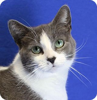 Domestic Shorthair Cat for adoption in Winston-Salem, North Carolina - Ellie