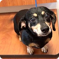 Adopt A Pet :: Trixie - Weston, FL